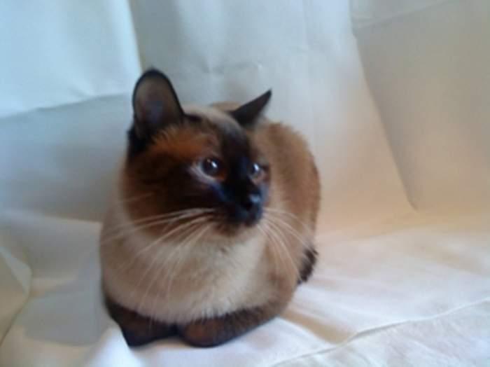 Вязка сиамский кот