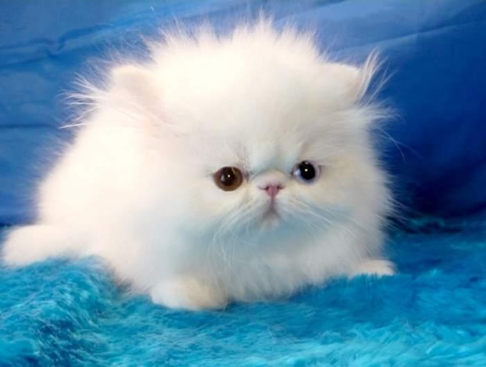 персидских кошек и котят