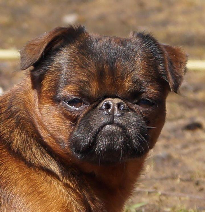 грифон собака фото брабансон сожалению, говяжья